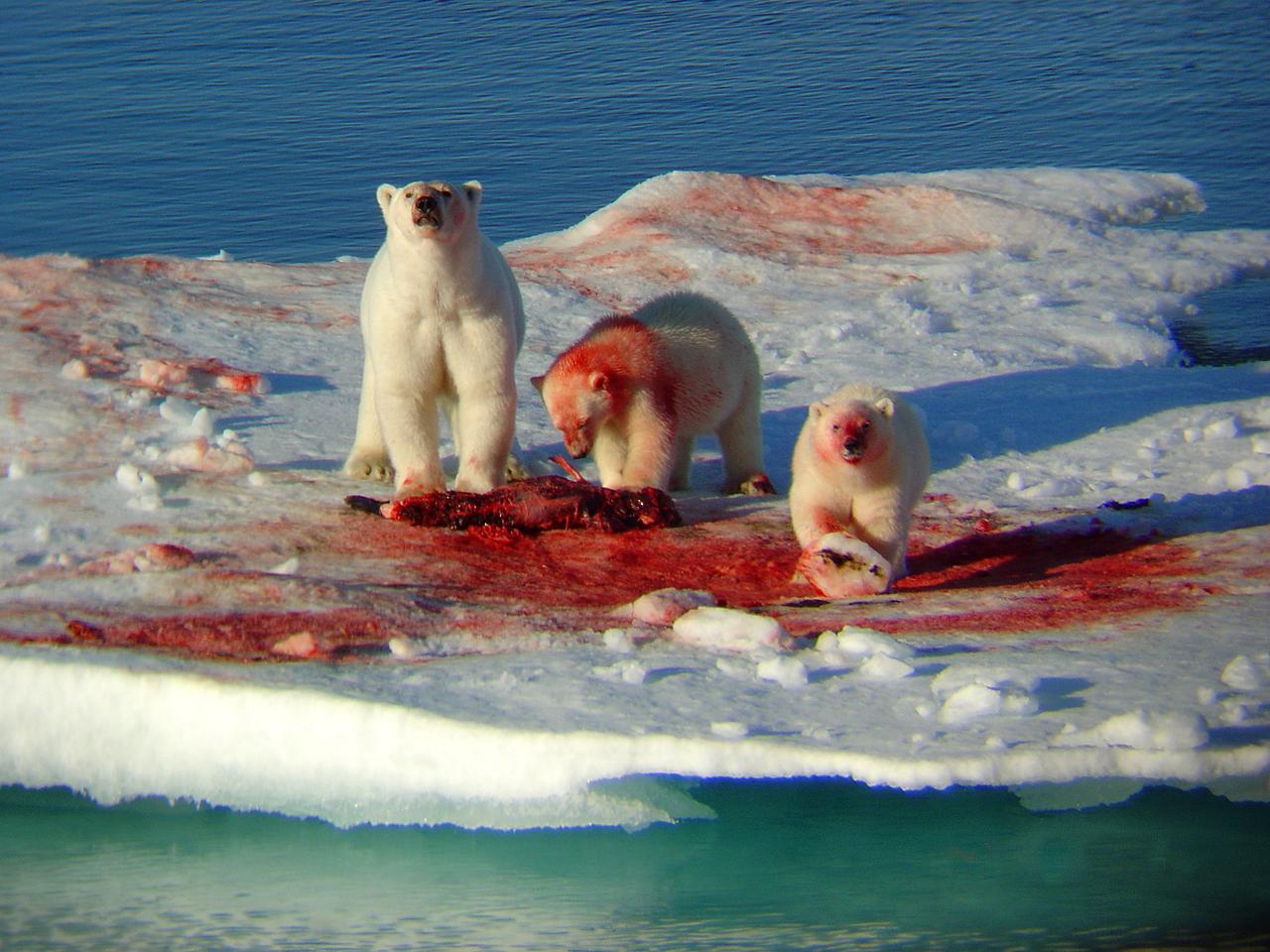Chtěl/a by sis pohrát s polárními medvídky?